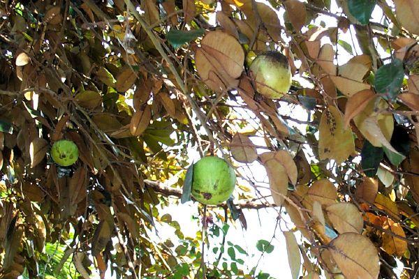 Razzle Dazzle — Tropical Fruit